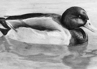 Duck graphite sketch Kathrin Guenther web file