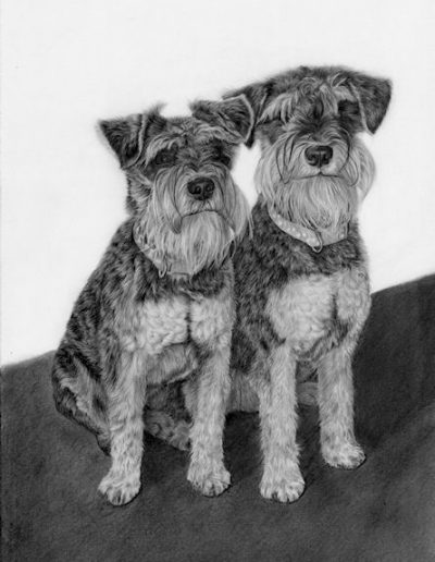 German miniature Schnautzer drawing by Kathrin Guenther