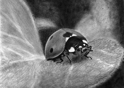 ladybird graphite drawing Kathrin Guenther web file