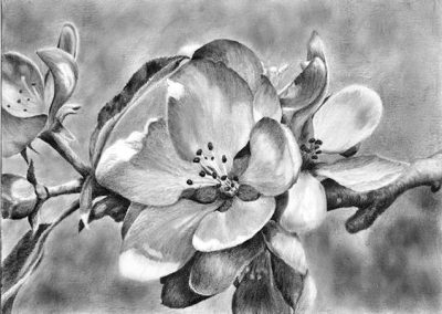 tree blossom graphite drawing Kathrin Guenther web file